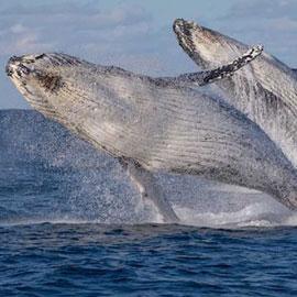 فيديو مدهش لحوتين يقفزان بتناسق رائع في البحر