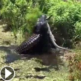 فيديو مثير: تمساح ضخم (4 أمتار) يلتهم آخر أصغر منه (1.5 متر)!