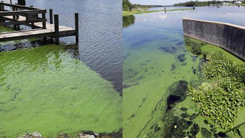بالصور.. فلوريدا تعلن حالة الطوارئ بسبب انتشار الطحالب السامة