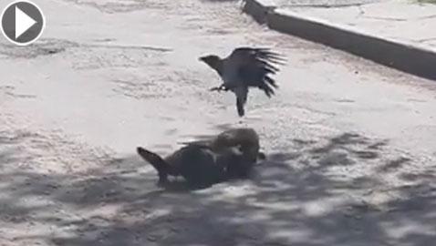 فيديو مثير.. غراب يوقف شجار شرس بين قطتين!