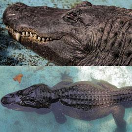 نجا من الحرب العالمية ومازال على قيد الحياة.. اليكم حكاية أكبر تمساح  ..
