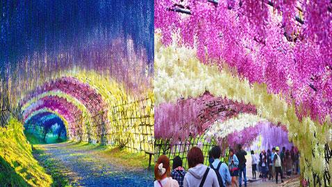 زيارة رومانسية من نوع خاص للاستمتاع بالطبيعة في أنفاق ويستريا اليابانية