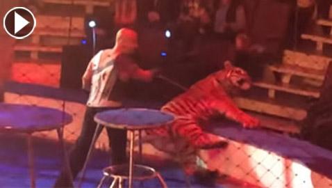 فيديو صادم: نمر يصاب بنوبة صرع أثناء عرض السيرك
