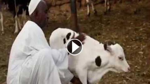 فيديو: سوداني يربي عجلة يتيمة فيتحول لمليونير ويقول: أحب عملك تنجح