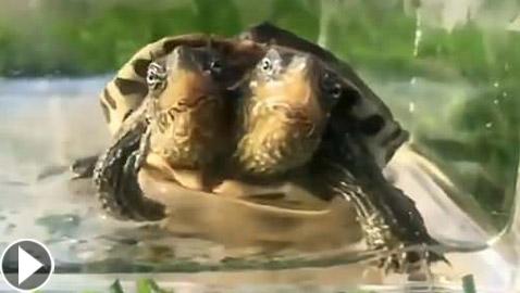 فيديو: محمية حيوانات صينية تعرض سلحفاة غريبة برأسين!