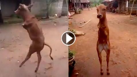 فيديو غريب واستثنائي: بقرة تمشي مثل الإنسان على ساقين