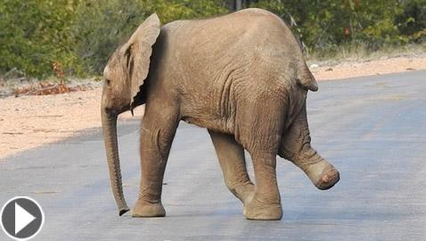 فيديو مؤثر لفيل يعبر الطريق بشجاعة رغم فقدانه لأحد أطرافه