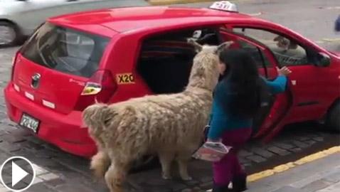فيديو غريب.. حيوان اللاما يركب على المقعد الخلفي في سيارة أجرة!