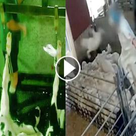 فيديو صادم يكشف عن انتهاكات مروعة تتعرض لها الخراف في مسلخ إسباني