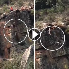 فيديو مروع.. سقوط كلاب صيد وفريستهم الغزال من جرف صخري!