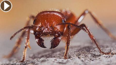 نمل دراكولا: الحشرة الأسرع لسعا وفتكا على وجه الأرض! فيديو