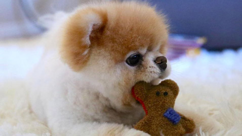 نفوق الكلب بو ألطف كلب في العالم ونجم مواقع التواصل