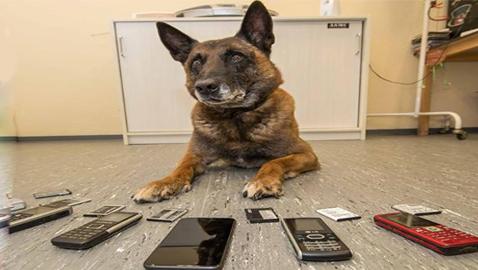 أرتوس: كلب بوليسي ذكي يفضح السجناء ويحبط محاولاتهم تهريب الهواتف