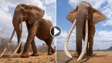 بالفيديو والصور: لقطات نادرة لفيل يمتلك أطول أنياب على الأرض!