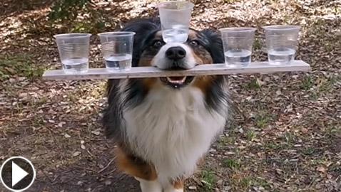 فيديو طريف.. كلب أسترالي يعرض مهاراته المذهلة والإنترنت منبهر!