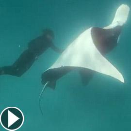 سمكة شيطان البحر (الراي) تطلب مساعدة غواص في إزالة خطاف صيد