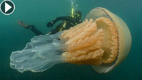 فيديو مذهل.. قنديل بحر ضخم بحجم إنسان بالقرب من شاطئ أوروبي!