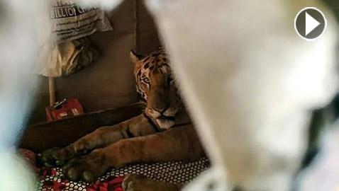 عائلة تعثر على نمر نائم بسريرهم.. فيديو وصور