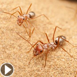 بسرعة 580 ك/س.. علماء يكتشفون أسرع نملة في العالم!
