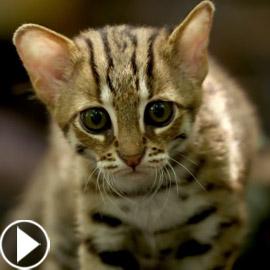 بالفيديو والصور: أصغر وأندر قط بري في العالم