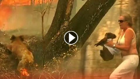 فيديو.. سيدة تخترق النيران لإنقاذ حيوان كوالا في غابات أستراليا  ..