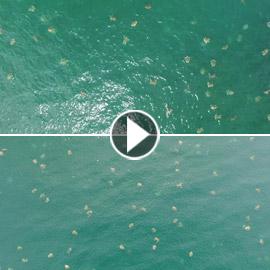 فيديو مدهش لأكبر تجمع للسلاحف البحرية على الإطلاق!