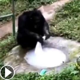 فيديو مدهش لعبقرية الشمبانزي.. يغسل الملابس مثل الإنسان تماما!