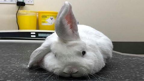 بالصور: (الأرنب وحيد القرن) حظي بشهرة واسعة بسبب أذنه!