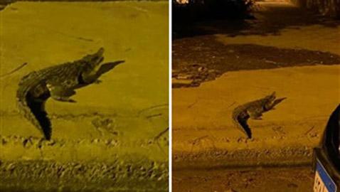 ظهور تمساح ضخم في شوارع مدينة أكتوبر