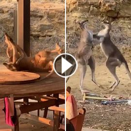 بالفيديو.. معركة ملاكمة ساخنة بين كنغرين في أستراليا!