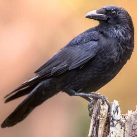لماذا يُصنف الغراب أذكى الطيور في العالم؟ فما هي مزاياه؟