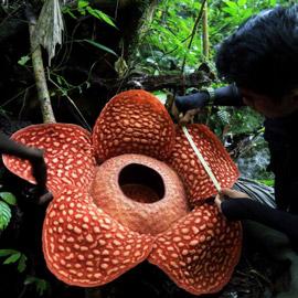 بالصور: العثور على أكبر زهرة ذات رائحة كريهة في إندونيسيا!