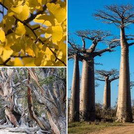 أقدم الأشجار بالعالم.. ما السر وراء الأشجار المعمرة لأكثر من ألف عام؟