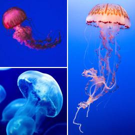 بلا قلب ولا دماغ ولا تموت.. حقائق غريبة مدهشة عن قنديل البحر