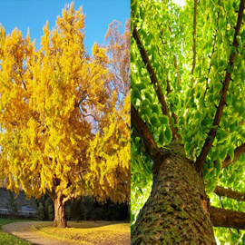 شجرة جنكو بيلوبا التي تعيش لملايين السنين