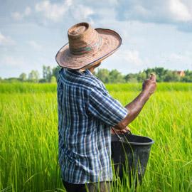 آسيا الوسطى مصدر أول أرز مزروع في العالم