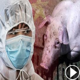 فيروس خنزيري يظهر بالصين ويدق ناقوس الخطر من وباء جديد!