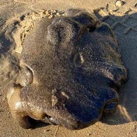 صور: مخلوق بحري غامض ألقت به الأمواج على أحد شواطئ أستراليا