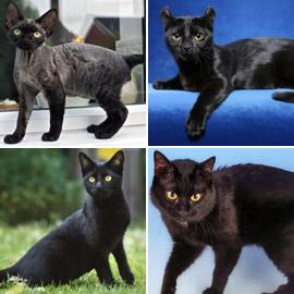 بعيدا عن الأساطير.. إليكم 10 من أنواع القطط السوداء الرائعة والجذابة