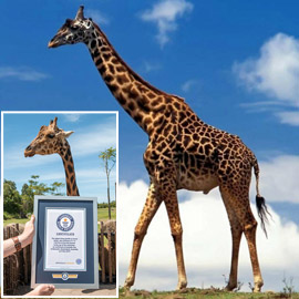 أطول زرافة في العالم تدخل موسوعة غينيس.. طوله 5.7 متر وله 10 صغار