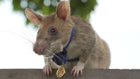 صور: مؤسسة تمنح فأرا شجاعا ميدالية ذهبية.. فما قصته؟