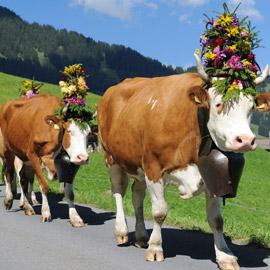 بالفيديو: تعرّف على حياة الأبقار في سويسرا