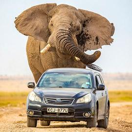لقطات تحبس الأنفاس.. فيل عملاق يطارد سيارة محاولا دهسها!