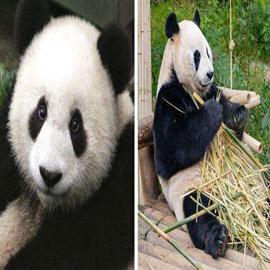 الباندا تدعي الحمل.. وحقائق عجيبة عن البشر والحيوانات