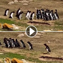 فيديو طريف: البطريق الحائر ارتكب خطأ غريبا.. وصديقه يتدخل!