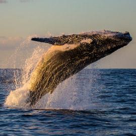 كيف تسهم الحيتان بتحسين كوكبنا ولماذا يعتبر صيدها كارثة بيئية حقيقية؟