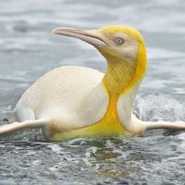 لأول مرة على الإطلاق! مصور يكتشف طائر بطريق أصفر اللون نادر