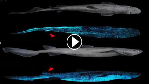 بالفيديو والصور: اكتشاف أكبر حيوان متوهج عملاق في شفق المحيط