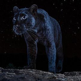 صور مذهلة لنمر أسود نادر في الظلام تحظى بانتشار واسع!