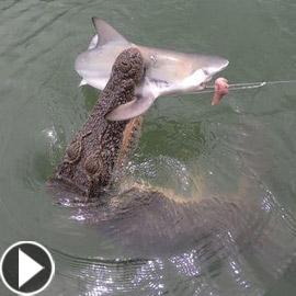 فيديو مدهش: تمساح يهاجم قرش ويصطاده بعناد من صنارة الصيد!